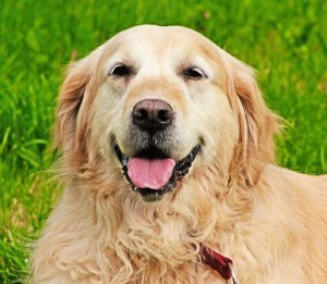 Odors that repel dogs from garbage-Golden retriever in grass