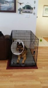 After dog surgery, resting in kennel when not leashed and tethered to me