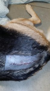 Incision site after dog surgery.